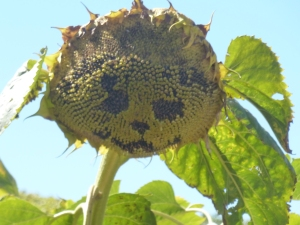 Sunflower faces #2