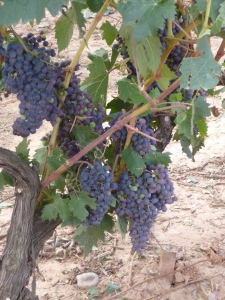 Luscious Grapes in Rioja