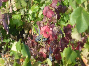 Bierzo grapevines, their leaves turning in the autumn sun
