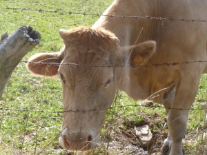 A contented Galician cow