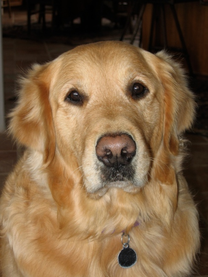 Marley, the last of the great Goldens in our household