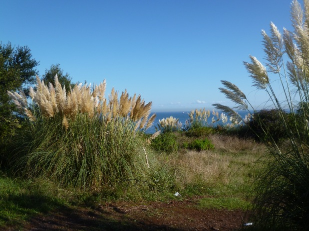 And there is pampas grass everywhere . . . an invasive species, and not much appreciated here, but it is lovely t MY eyes