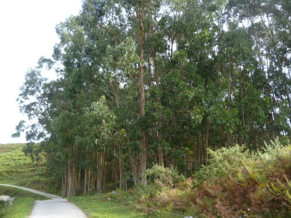 Eucalyptus groves along the pathways