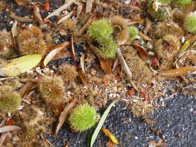Chestnut trees above me means fallen chestnut clusters below